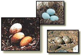 Bird eggs intro section.jpg