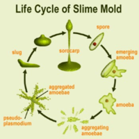 Slime-mould.png