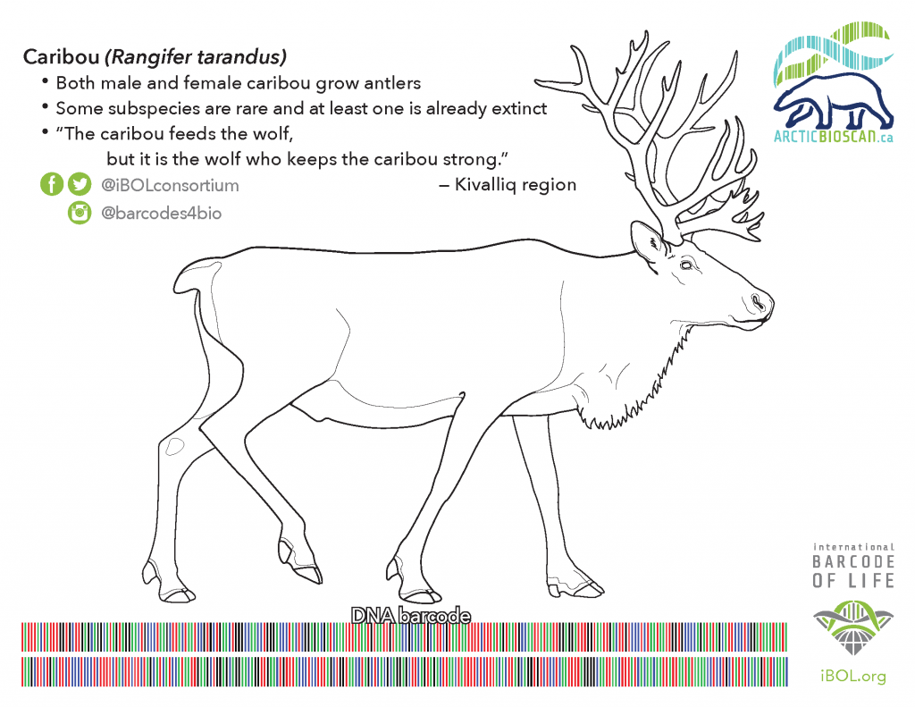 Colouring page of Barrenground Caribou