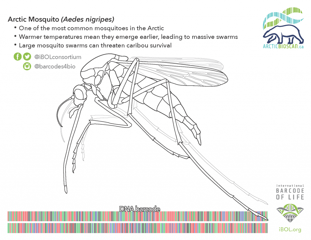 Colouring page of Arctic Mosquito