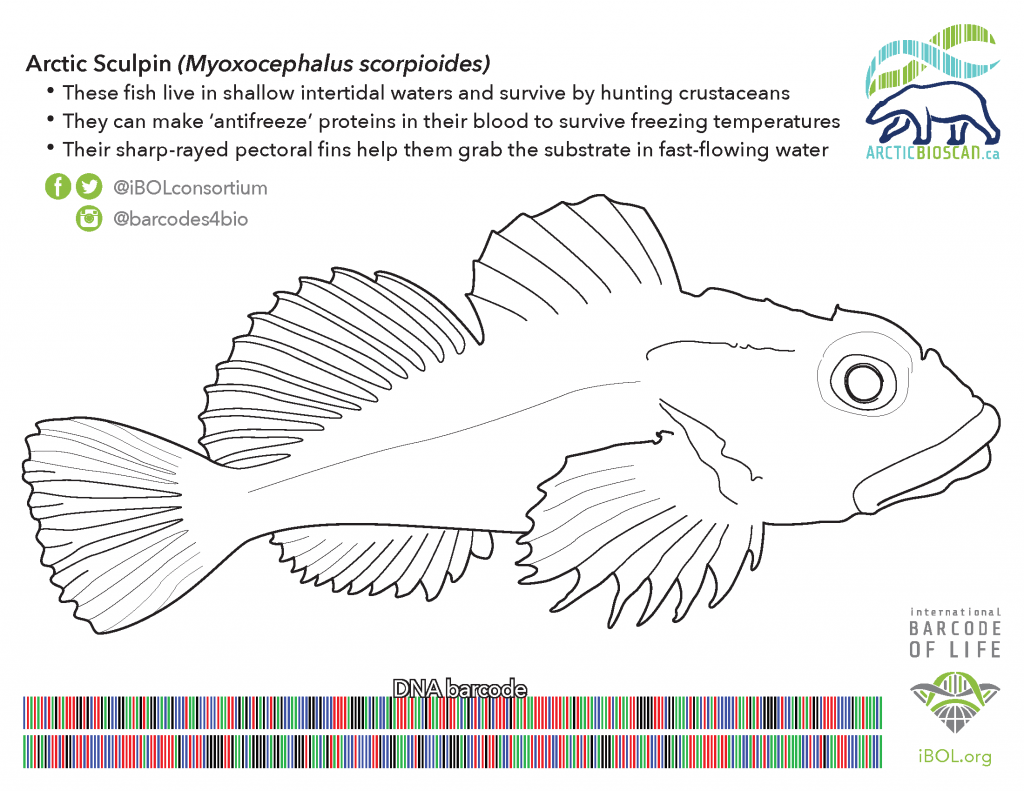 Colouring page of an Arctic Sculpin