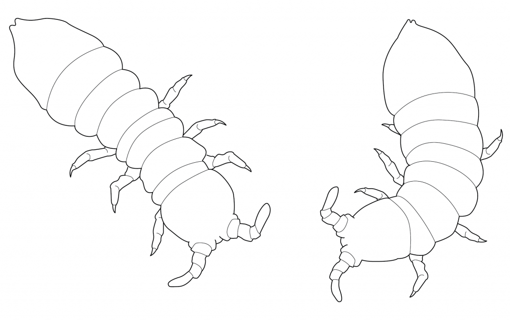 Image of 2 black-line arctic springtails for colouring