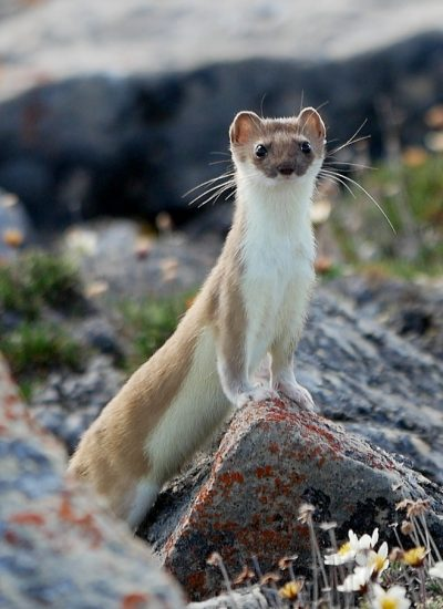 a standing ermine